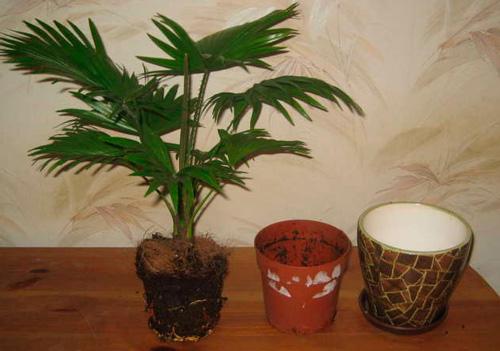 Пересадка пальмы после покупки