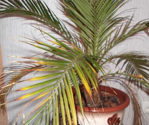 Пересадка пальмы: тонкости ухода за домашними пальмами советы и рекомендации по уходу для садоводов
