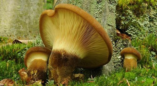 Соленые свинушки грибы рецепты приготовления — 5